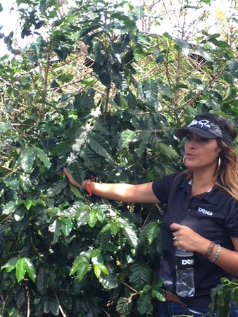 Doka Estate Coffee Tour: Guide shows coffee flowers