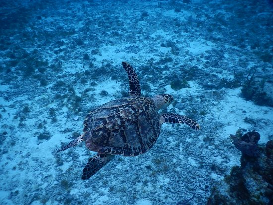 one of many turtles of in the reef