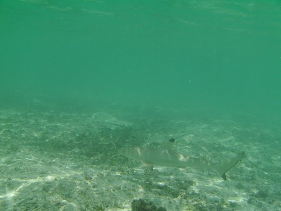 Mathiveri Island : just baby reef sharks in the lagoon