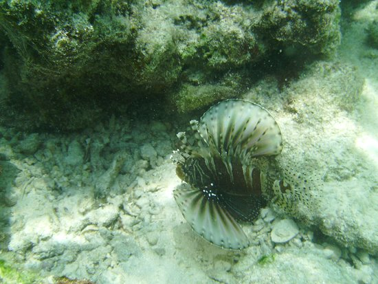 Mathiveri Island : lionfish on the harbour reef