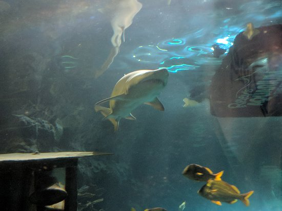 Ripley's Aquarium of the Smokies: Shark
