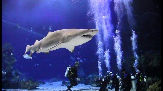 Epcot Divequest: Sand Tiger Shark