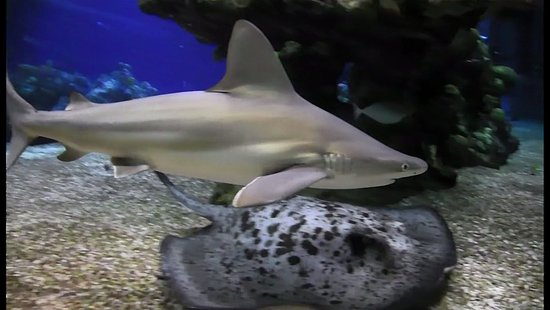 Epcot Divequest: Baby Bull Shark and Black Spotted Ray