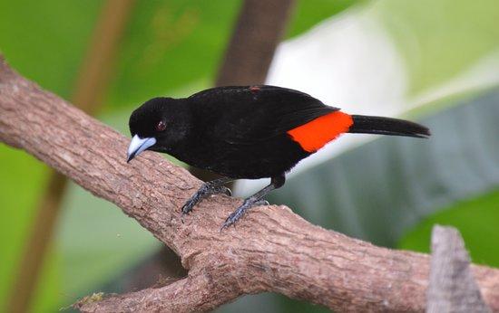 La Virgen, Costa Rica: Passerini's Tanagers are a common sight in the hotel gardens