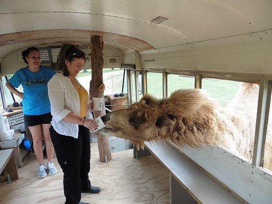 Pineville, LA: camel