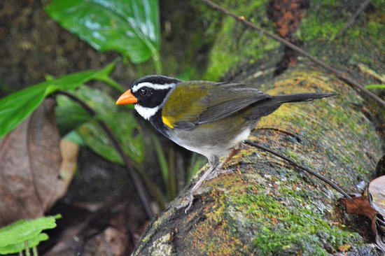 La Virgen, Κόστα Ρίκα: Orange-billed Sparrows are found along the forest trail