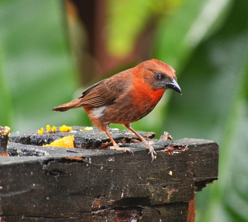 La Virgen, Κόστα Ρίκα: Red-throated Ant-tanagers come to the fruit feeders