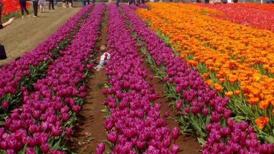Woodburn, OR: Wooden Shoe Tulip Festival