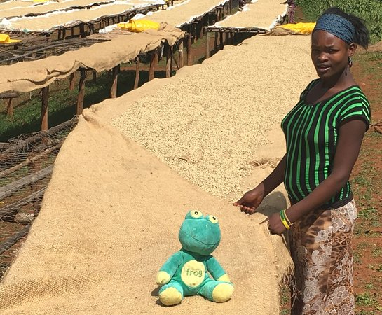 Constantia, Sudáfrica: Wet Processed coffee drying on African Beds