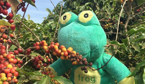 Constantia, Sudáfrica: Frog Quaffer in Brazil smelling the coffee cherries