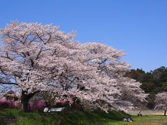 Kosho no Sakura