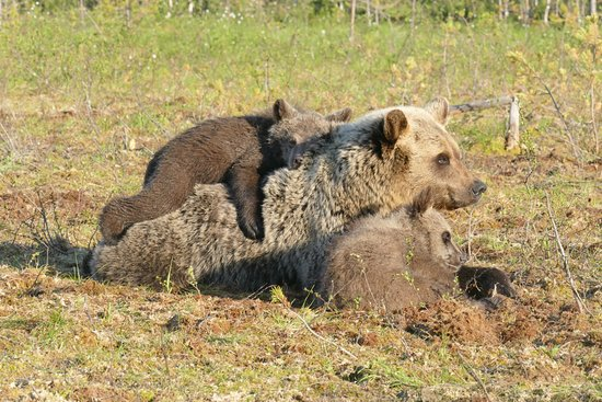 Suomussalmi, Finland: Also bear cubs are regular visitors in Martinselkonen Wilds Centre bear hides.