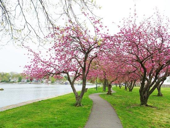 Mamaroneck, NY: ハーバー沿い、桜のトンネル
