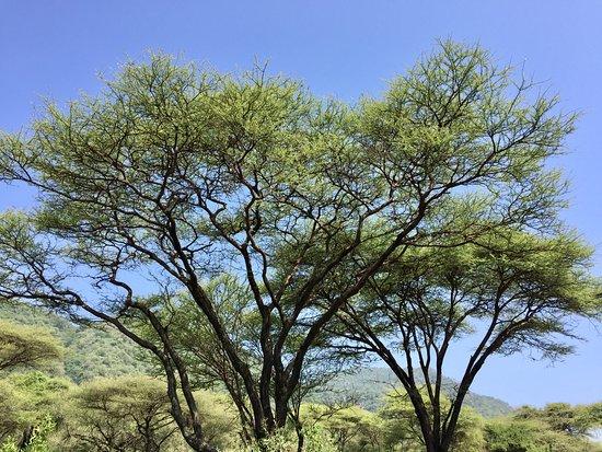 Lake Manyara National Park, Tanzania: acacia umbrella