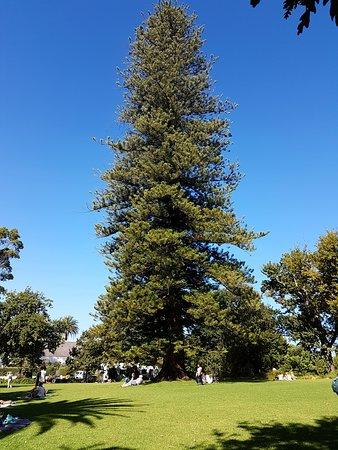 Constantia, Republika Południowej Afryki: That Treeee