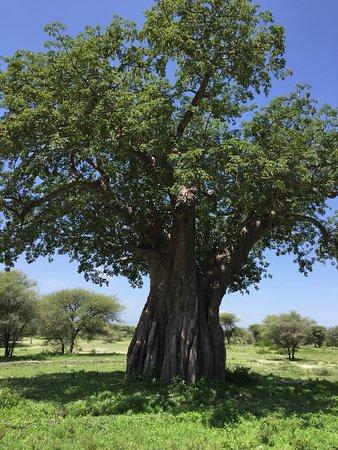 Tarangire National Park, Tanzania: baobab