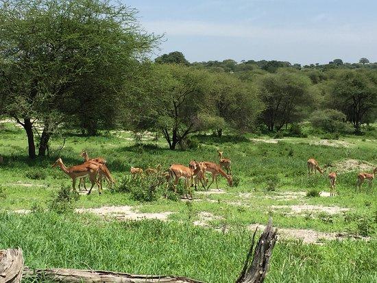 Tarangire National Park, Tanzania: antelope
