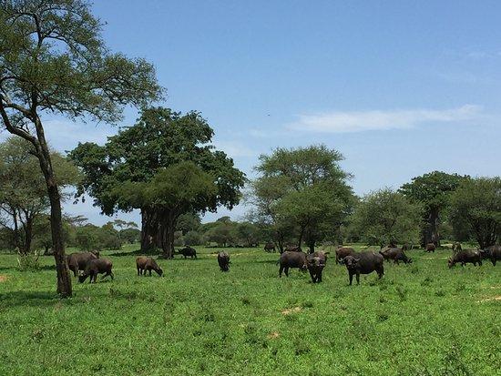 Tarangire National Park, Tanzania: buffaloes