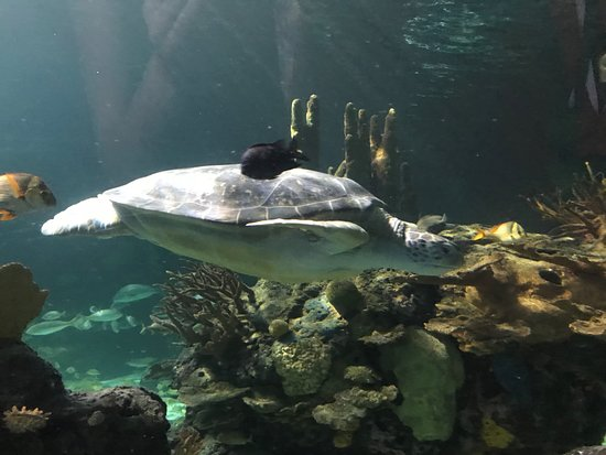 Ripley's Aquarium of the Smokies: The beautiful sea turtle came out to pay us a visit!