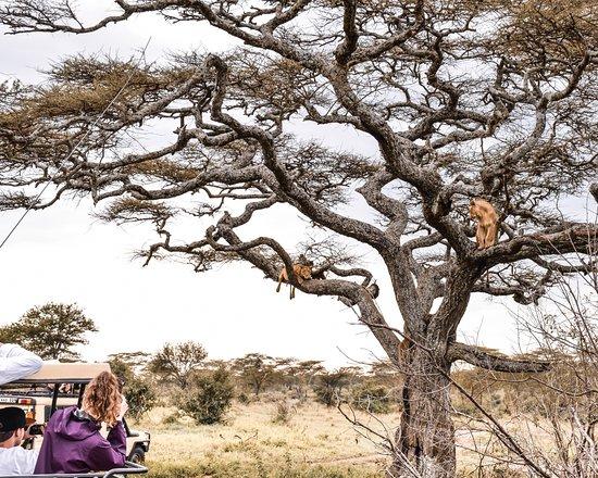 Tree climbing Lions of Lake Manyara National Park