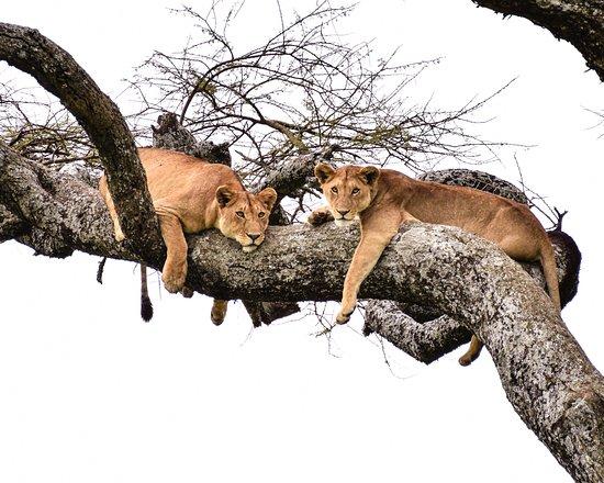 Lake Manyara National Park, Tanzania: Lounging higher up on the tree branches