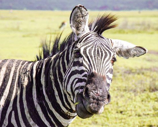 Lake Manyara National Park, Tanzania: Zebra with green pastures