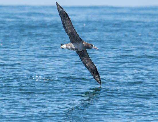 Black Footed Albatross With A 7 Foot Wingspan Picture Of Blue