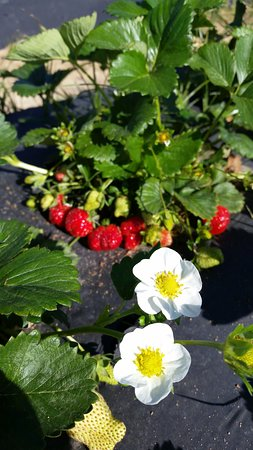 Clarksville, AR: Strawberries and blooms