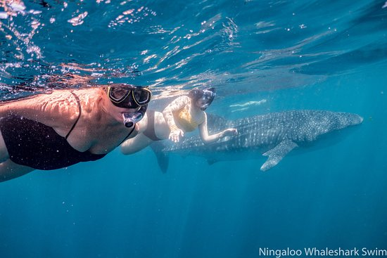 b8fd912e2109a Ningaloo Whaleshark Swim - Picture of Ningaloo Whaleshark Swim ...