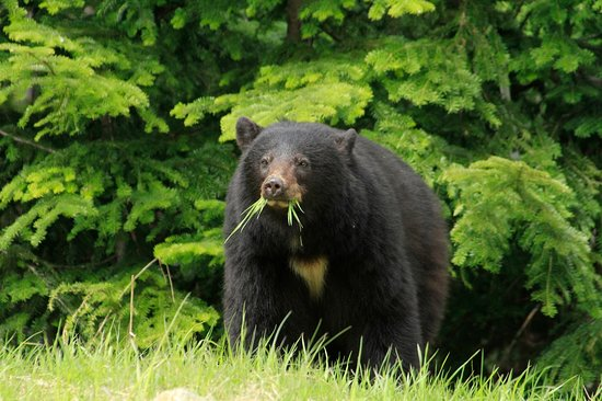Squamish, แคนาดา: Black bear in the Callaghan Valley