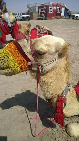 Gulf Adventures Day Tours: camel close up