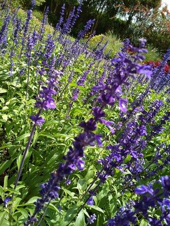 Taman Bunga Nusantara: tanaman bunga Lavender