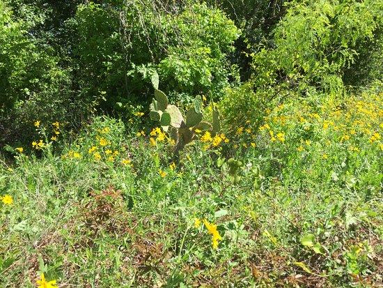 Buda, TX: cactus wildflowers