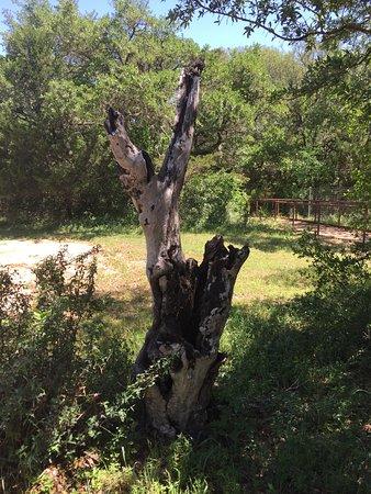 Buda, TX: Old tree trunk