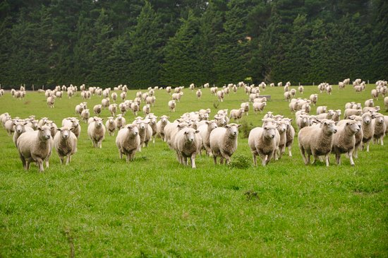 Windwhistle, New Zealand: the sheep at the farm