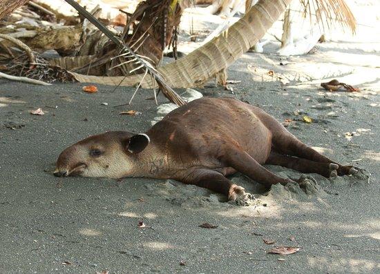 Drake Bay, Kosta Rika: Tapir-Siesta