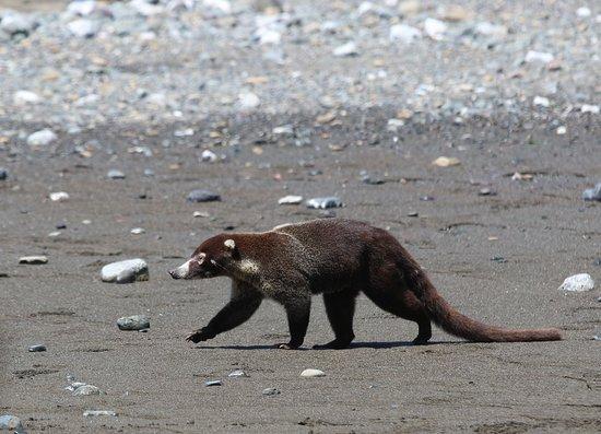 Drake Bay, Kosta Rika: Meine Lieblingstiere - Coatis (Nasenbären)