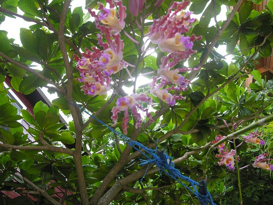 Jonesville, Honduras: Bromelaid in bloom