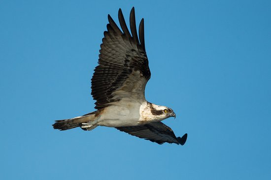 Killin, UK: Osprey
