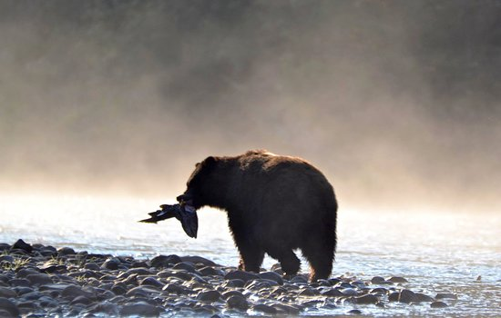 Bella Coola has both Grizzly & Black Bear. (Grizzly pictured)