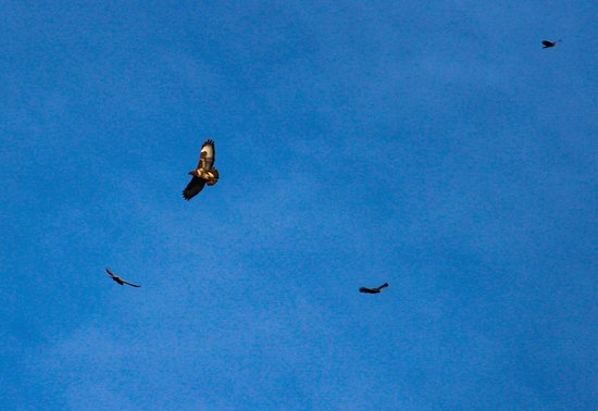 Lifton, UK: Buzzards flying above the hot tub