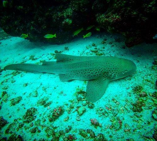 Tofo, Mozambique: Leopard/Zebra Shark