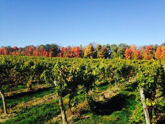 Ovid, นิวยอร์ก: Riesling vines & foliage