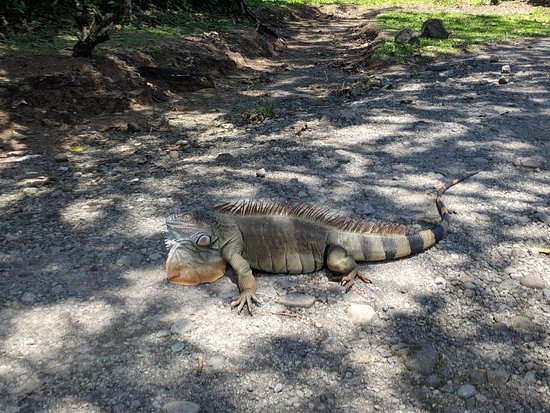 Eco Arenal Hotel: One of the resident iguanas at Eco Arenal