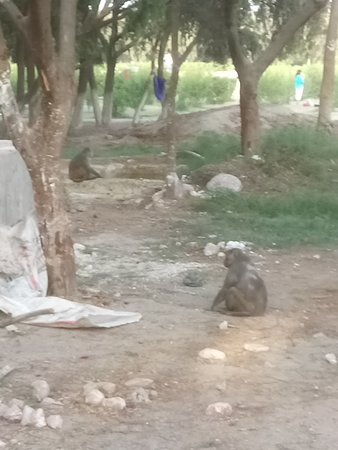 Mehtab Bagh: Monkey residents
