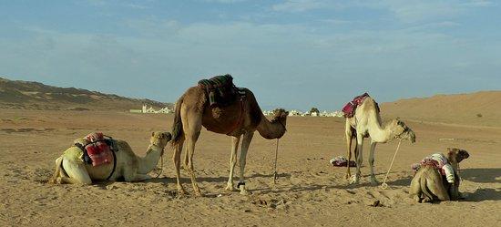 Jalan Bani Buhassan, Oman: Les dromadaires pour la belle photo