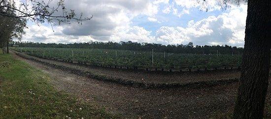 Lecanto, FL: 20 acres of blueberries!