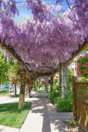 Wisteria Vines Picture Of Temecula California Tripadvisor