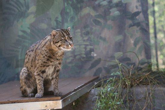 Birmingham Zoo: Fishing Cat