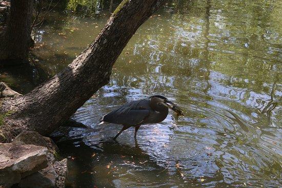 Birmingham Zoo: Crane (?) fishing with his catch